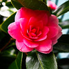 A camelia blossom is the herald of spring on February 6.