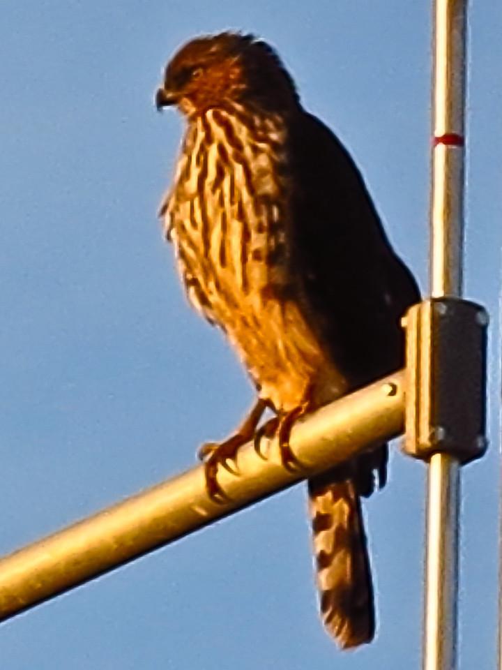 A raptor, probably a hawk, sitting on a railway antenna on February 1, 2103.