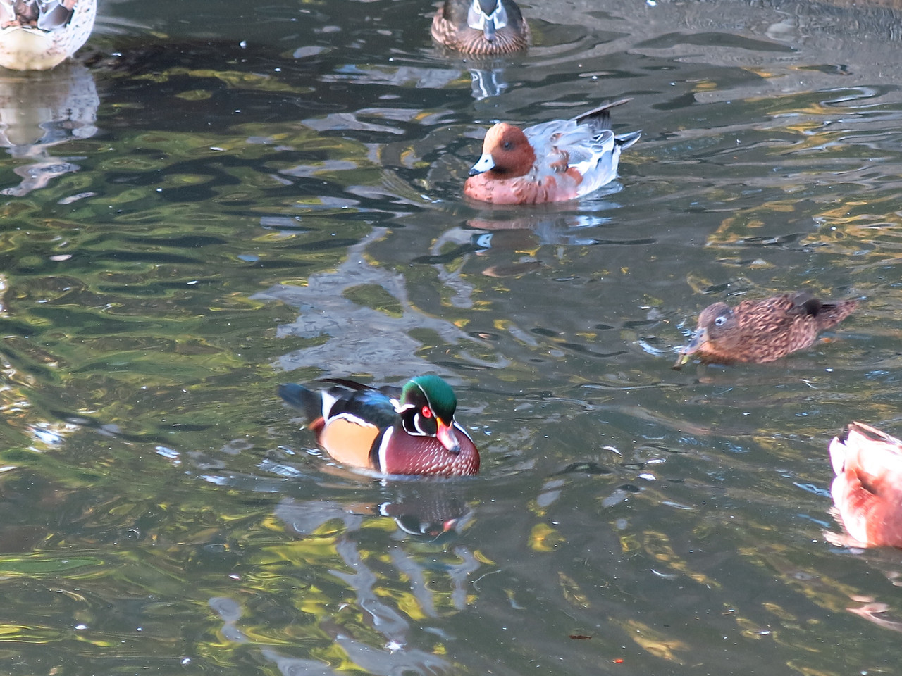 There is an aviary in the city park.  The duck in the middle has impressive colors.